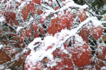 赤い葉の上に雪(25.11.11)