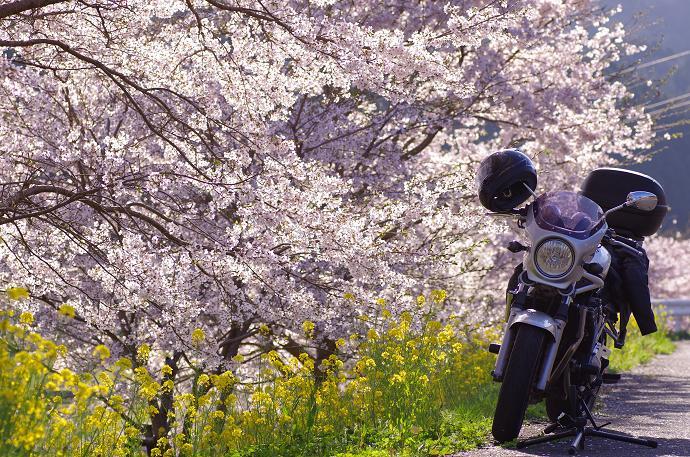 桜とBandit