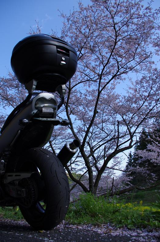 Banditと桜