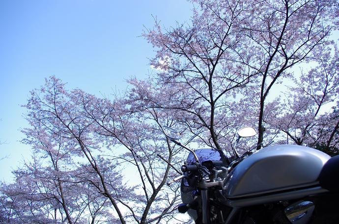 桜と並んで
