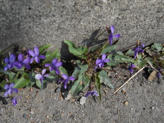 道端の花04