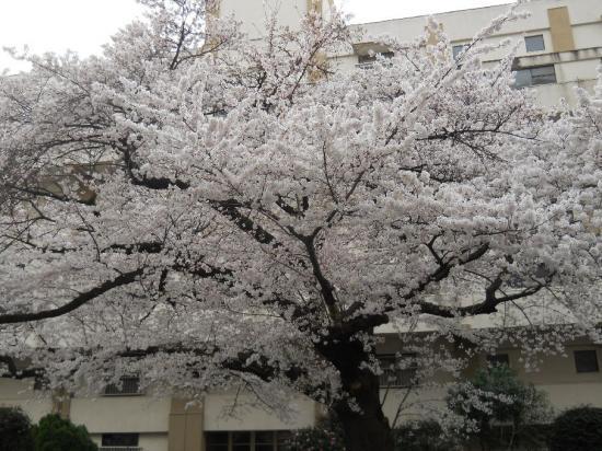 通勤路桜11