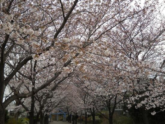 通勤路桜13