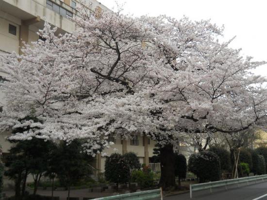 通勤路桜09