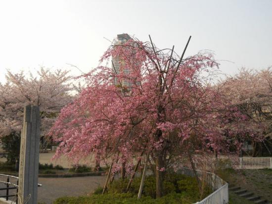 元郷桜01