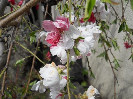 小豆沢桜01