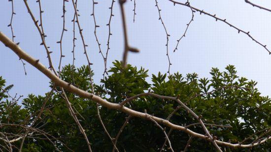 2011 0208 銀杏の芽3