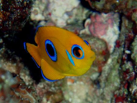 コガネヤッコ幼魚