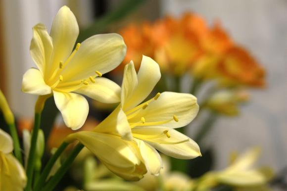 黄花君子蘭 2