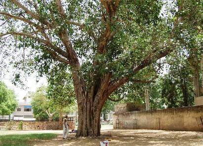 インド菩提樹