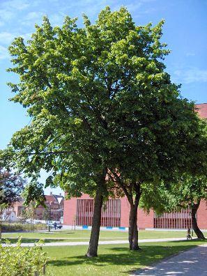西洋菩提樹