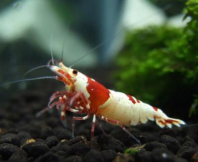 shrimp_convert_20110325071635.jpg
