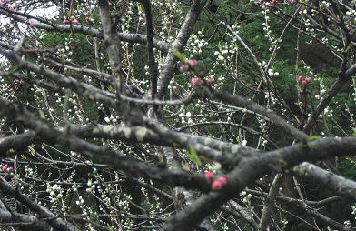 桃の花・つぼみ