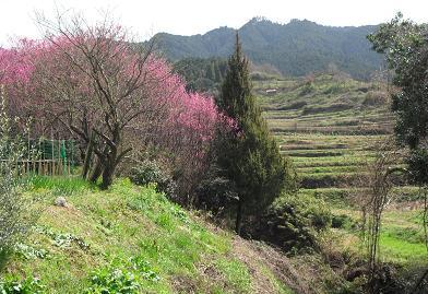 明日香村の棚田と梅