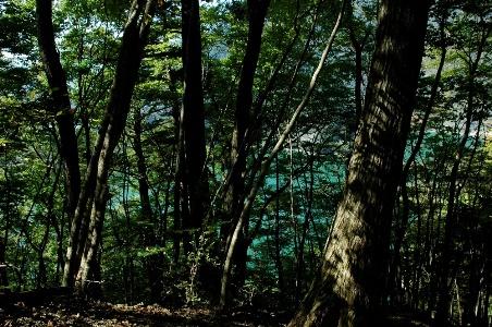 奥多摩湖を透いたブナ林