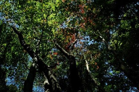 青空を透いたブナ林