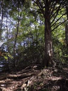 尾根道を塞ぐ巨木