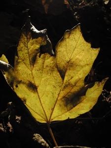 落ち葉黄色