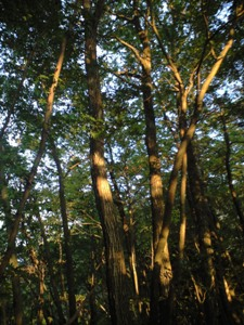 ブナ林を照らす夕日