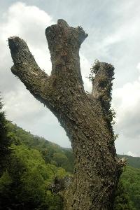 のびのびの木