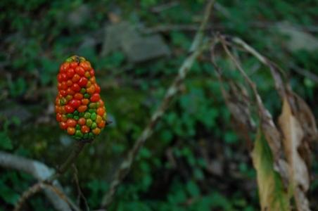 頂上広場の赤い実の植物