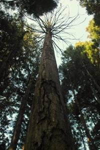 立ち枯れた巨木