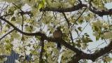 八重桜(緑)&キジバト