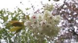 八重桜(緑)