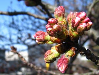 皇居の桜 つぼみ2010