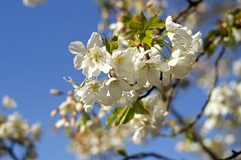 2010皇居東御苑&北の丸公園桜