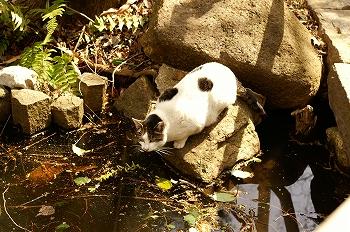おとめ山公園湧水口ネコ