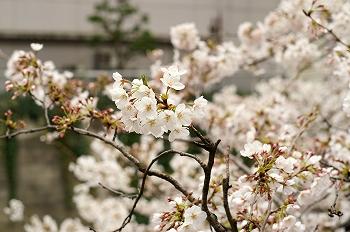 江戸川公園桜花見4