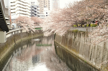 江戸川公園桜花見5