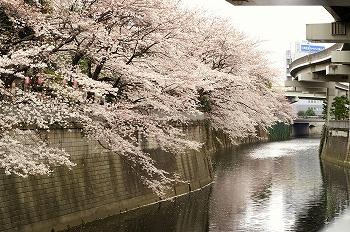 江戸川公園桜花見3