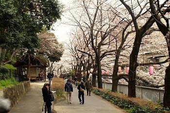 江戸川公園桜花見2