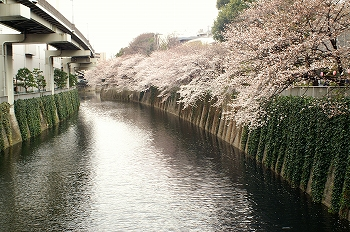 江戸川公園桜花見1