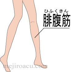 Gastrocnemius muscle 腓腹筋 ふくらはぎ