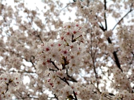 桜がついに咲きました♪