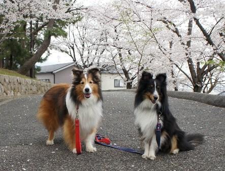 2012 4.10 満開の桜の下で - コピー