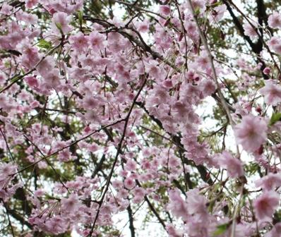 2012 4.13 家族でお花見 (47)