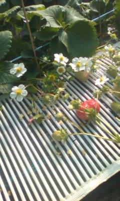 摘花前の様子