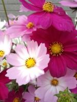 13年秋桜