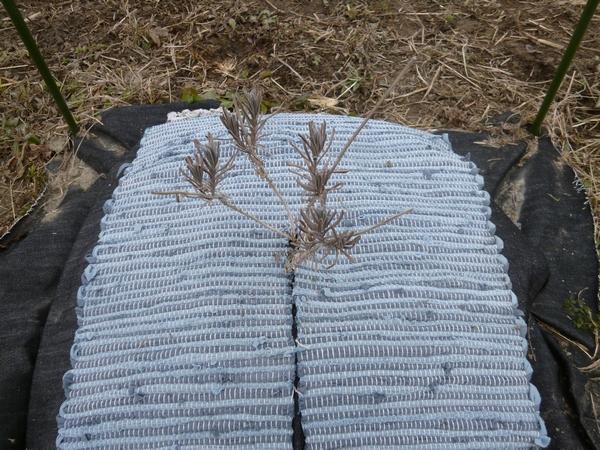 おかむらさき田んぼの土のう栽培130217