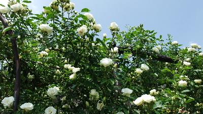入口の白いバラ