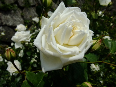 白いバラのアップ