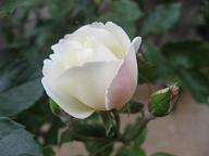 司教館の薔薇