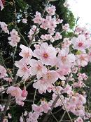伊太祈曽神社の桜
