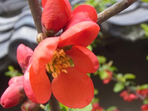 2012.4.9分 日常 木瓜の花 6
