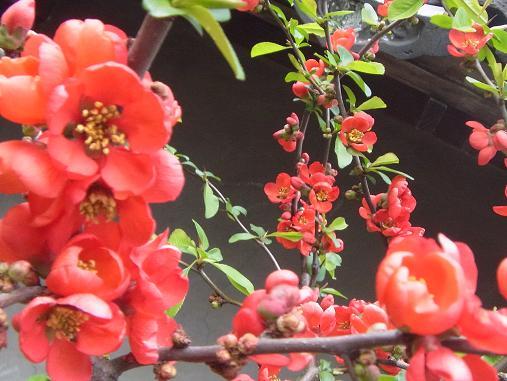 2012.4.9分 日常 木瓜の花 5