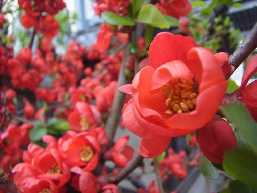 2012.4.9分 日常 木瓜の花 3